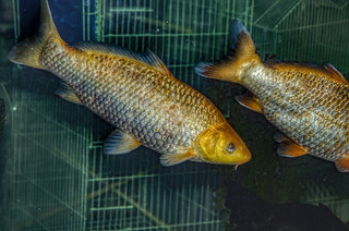 Cyprinus carpio - Common Carp (Linnaeus, 1758)