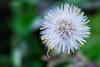 (PepaAston) Tags: macro flower petal nature white green garden floral botanical delicate fragility plant