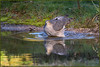 Sparrowhawk (image 2 of 2) (Full Moon Images) Tags: rspb sandy lodge thelodge wildlife nature reserve bedfordshire bird prey birdofprey sparrowhawk reflection pond washing bathing