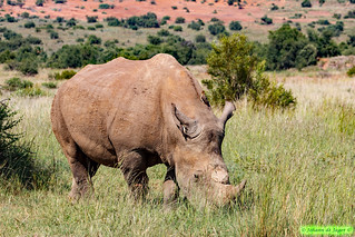 Rhino and two Red-Billed Oxpeckers