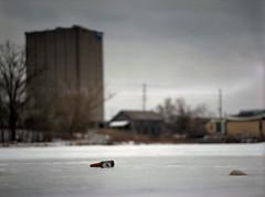 (toulouse goose) Tags: film kodak portra 800 mamiya 645 e 120 sekor 150mm35n mediumformat c41 homedeveloped epson v500 winter frozen pond ice waterloopark beer bottle