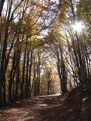 Viale di luce (Scagliediterra) Tags: bosco wood parconazionaledelgransassoedeimontidellalaga autunno autumn colors colori forest nature natura paesaggi landscape