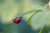Sweet Leaf (sdupimages) Tags: macroscape nature sigma bokeh bug insectes ladybird ladybug coccinelle macro macrodreams