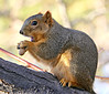 Wait a Minute! (Colorado Sands) Tags: squirrel animal wildlife lakewood coloradowildlife usa colorado sandraleidholdt peanut feeding eating sciurusniger foxsquirrel treesquirrel belmar