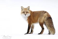 The Old Man (Megan Lorenz) Tags: redfox fox animal mammal snow winter male nature wildlife wild wildanimals algonquinprovincialpark ontario canada mlorenz meganlorenz