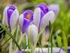 My crocuses in the garden after rain. (ost_jean) Tags: crocuses krokussen ostjean nikon d5200 tamron sp 90mm f28 di vc usd macro 11 f004n garden tuin colors bloemen fleurs flowers