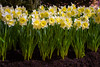 Daffodils @ Canada Blooms (A Great Capture) Tags: garden spring show daffodils blooming flowers cne enercarecentre toronto canadablooms agreatcapture agc wwwagreatcapturecom adjm ash2276 ashleylduffus ald mobilejay jamesmitchell on ontario canada canadian photographer northamerica torontoexplore winter l'hiver