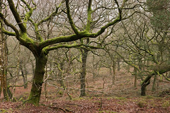 Mossy trees (Blue Pelican) Tags: trees moss woods march mist glossop derbyshire shirehill