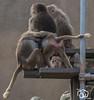 wildlands-emmen-32 (voorhammr) Tags: 2018 juul robin apen emmen giraffen ijsberen neushoorn nijlpaard pinquins prairiehonden vlinders wildlands zeeleeuwen zoo drenthe nederland nl