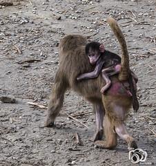 wildlands-emmen-28 (voorhammr) Tags: 2018 juul robin apen emmen giraffen ijsberen neushoorn nijlpaard pinquins prairiehonden vlinders wildlands zeeleeuwen zoo drenthe nederland nl