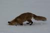 I know you're in there II (Fred Roe) Tags: nikond7100 nikkorafs80400mmf4556ged nikonafsteleconvertertc14eii nature wildlife mammal fox redfox vulpesvulpes peacevalleypark