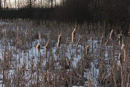 "Reeds in the frozen ""Island pond"""