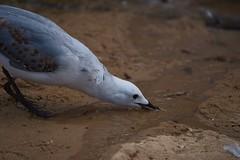 Snooto (JaggedMagpie) Tags: seagull bird photography beach water birb feathers splash sand reflection standing beak gull birdlife wildlife nature peck