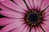 New beginnings (Mauro Hilário) Tags: flora flower pink caterpillar macro garden chrysanthemum madeira beautiful amazing closeup composition nature animal ivertebrate bug insect funchal