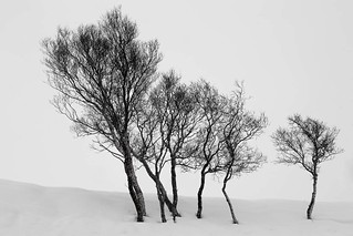 Winter Trees in a Field of Snow