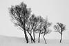Winter Trees in a Field of Snow (emperor1959 www.derekbeattieimages.com) Tags: trees snow field snowfield winter bare abstract scotland landscape blackandwhite stark
