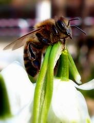 Pszczoła. (andrzejskałuba) Tags: polska poland pieszyce dolnyśląsk silesia sudety europe panasoniclumixfz200 roślina plant owad insect pszczoła bee snowdrop śnieżyczki ogród green garden zieleń natura nature biały white 100v10f