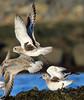 Grey Plover, Ruddons Point, Fife, Scotland (Terathopius) Tags: greyplover ruddonspoint pluvialissquatarola largobay fife scotland unitedkingdom uk greatbritain gb