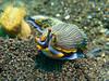 Armina-sp_nudibranch_Bali_Puri Jati_2014 (cc-2412) Tags: bali 2014 nudibranche opisthobranche arminidae plongée diving canon canonpowershotg16 inonz240 macro aquatique animal underwater nudibranch biosousmarine biosubmarine subaquatique mollusque mollusc purijati spotdiving