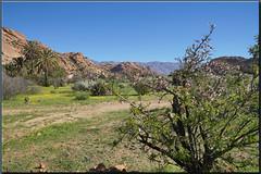 were the almondtrees flourish (mhobl) Tags: tafraoute maroc morocco almondtree spring
