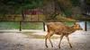 Nara-koen deer (hswrrswa7) Tags: japan nara deer
