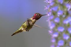 Anna's with Pride of Madeira (Patricia Ware) Tags: annashummingbird birdsinflight california calypteanna canon ef400mmf4doisiiusmlens handheld prideofmadeira httppwarezenfoliocom ©2017patriciawareallrightsreserved playadelrey specanimal sunrays5