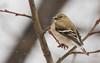Snow Flakes (Keztik) Tags: chardonneretjaune americangoldfinch carduelistristis chardonneret jaune goldfinch yellow bird oiseau nature wildlife animal snow neige winter hiver quebec canada nikon d7500