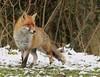Fox in the snow (karlpriceps3) Tags: fox red vulpes essex wild free predator canine