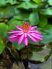 Lotus Flower (Swami Stream) Tags: water flower condo singapore lotus