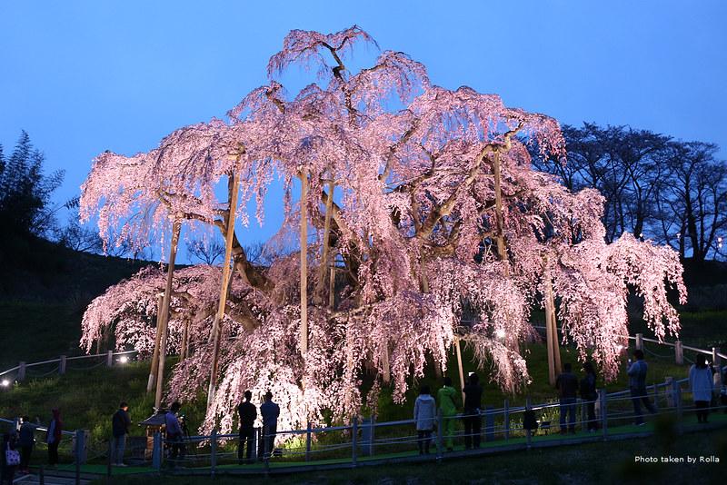 日本福島|三春瀧櫻的夜晚時分