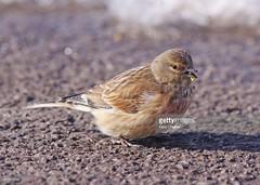 Linnet female (Gary Chalker, Thanks for over 3,000,000. views) Tags: linnet female bird pentax pentaxk3ii k3ii pentaxfa600mmf4edif fa600mmf4edif fa600mm 600mm