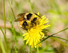 Bumblebee 214 (Christa R.) Tags: bombusternarius tricoloredbumblebee bombus apidae bumblebee bee insect creativecommons freephotos pollen