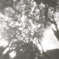 Light through leaves (Daphnesalbums) Tags: zone zero image 2000 camera plate ilford pan 50 caffenol