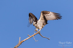 Male Osprey landing sequence - 24 of 28