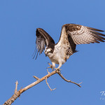 Male Osprey landing sequence - 24 of 28 thumbnail