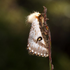 Unknown moth (Harlz_) Tags: moth hairy macro photo unknown id