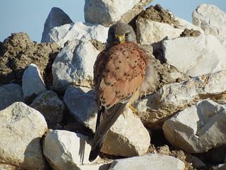 Peneireiro (Falco tinnunculus)