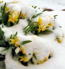snowy daffodils (brown_theo) Tags: snow flowers spring ohio cold snowy daffodil daffodils