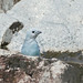 Blue-gray Tanager (Thraupis episcopus) bathing ...