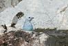 Blue-gray Tanager (Thraupis episcopus) bathing ... (berniedup) Tags: bluegraytanager thraupisepiscopus tanager taxonomy:binomial=thraupisepiscopus cayenne guyane bird