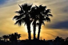 Palm trees (thomasgorman1) Tags: trees evening sundown sunset cloudy palmtrees desert baja mx mexico nikon silhouette houses dusk