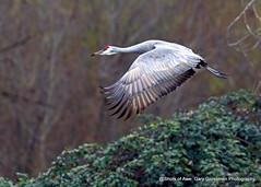 Lone Crane (Gary Grossman) Tags: crane bird flight flyer winter wild wildlife garygrossmanphotography sauvieisland pacificnorthwest wildlifephotography sandhillcrane
