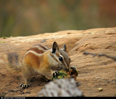 20160822_24 Chipmunk (Neotamias sp.?) gnawing on pine cone | Arches National Park, Utah (ratexla) Tags: ratexlasgreentortoisetrip2016 ratexlascanyonsofthewesttrip2016 nonhumananimals greentortoise canyonsofthewest 22aug2016 2016 canonpowershotsx50hs archesnationalpark utah usa theus unitedstates theunitedstates america northamerica nordamerika earth tellus photophotospicturepicturesimageimagesfotofotonbildbilder wanderlust travel travelling traveling journey vacation holiday semester resaresor ontheroad hiking hike sommar summer beautiful nature life organism nonhumananimal animal animals djur cute cool wild wildlife vild vilda biology zoology chipmunk chipmunks neotamiassp neotamias eating feeding omnomnom