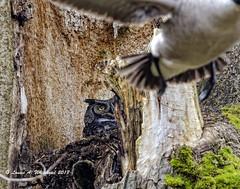 030418 Goose Attack (wildcatlou) Tags: nisquallynationalwildliferefuge march earlyspring nature latewinter owl greathornedowl bird birds canadagoose