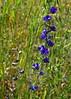 Delphinium, San Mateo Co., CA (RonParsonsflowershots) Tags: delphinium sanmateoco ca