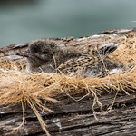 White-fronted Tern chick thumbnail