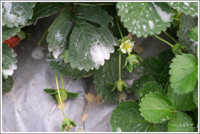 善化草莓 來去晴空農場找無農藥栽種的草莓 (10)