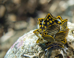 Caliphyllide-Cyerce (Cruising, traveling & dive pics.) Tags: 2017 critters png nudibranch
