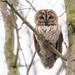 Tawny Owl (Strix aluco) by benstaceyphotography