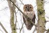 Tawny Owl (Strix aluco) (benstaceyphotography) Tags: birdofprey strixaluco tawnyowl brown owl nature wildlife bird raptor nikonuk british woodland branches trees wild